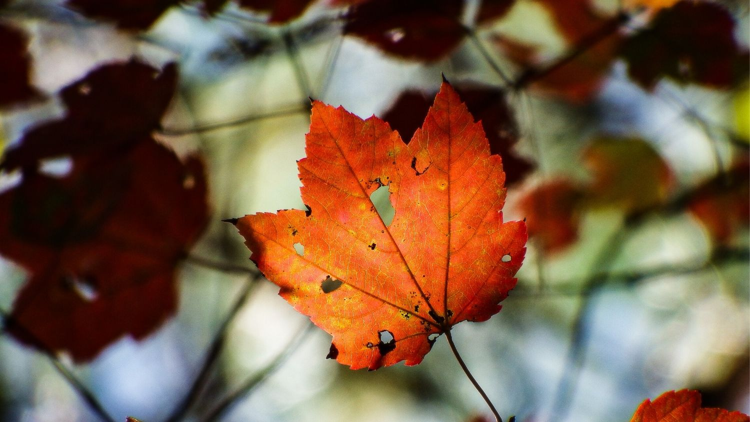 Which NC tree are you?, College of Natural Resources, Red Maple fall leaf, courtesy Lauren McLaughlin, feature