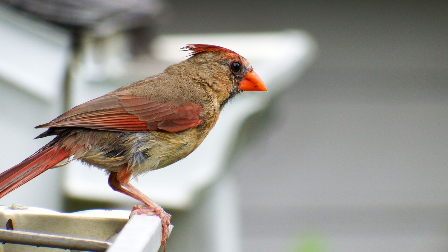 5 Tips for Getting into Birding, College of Natural Resources, female cardinal, courtesy Lauren McLaughlin, feature