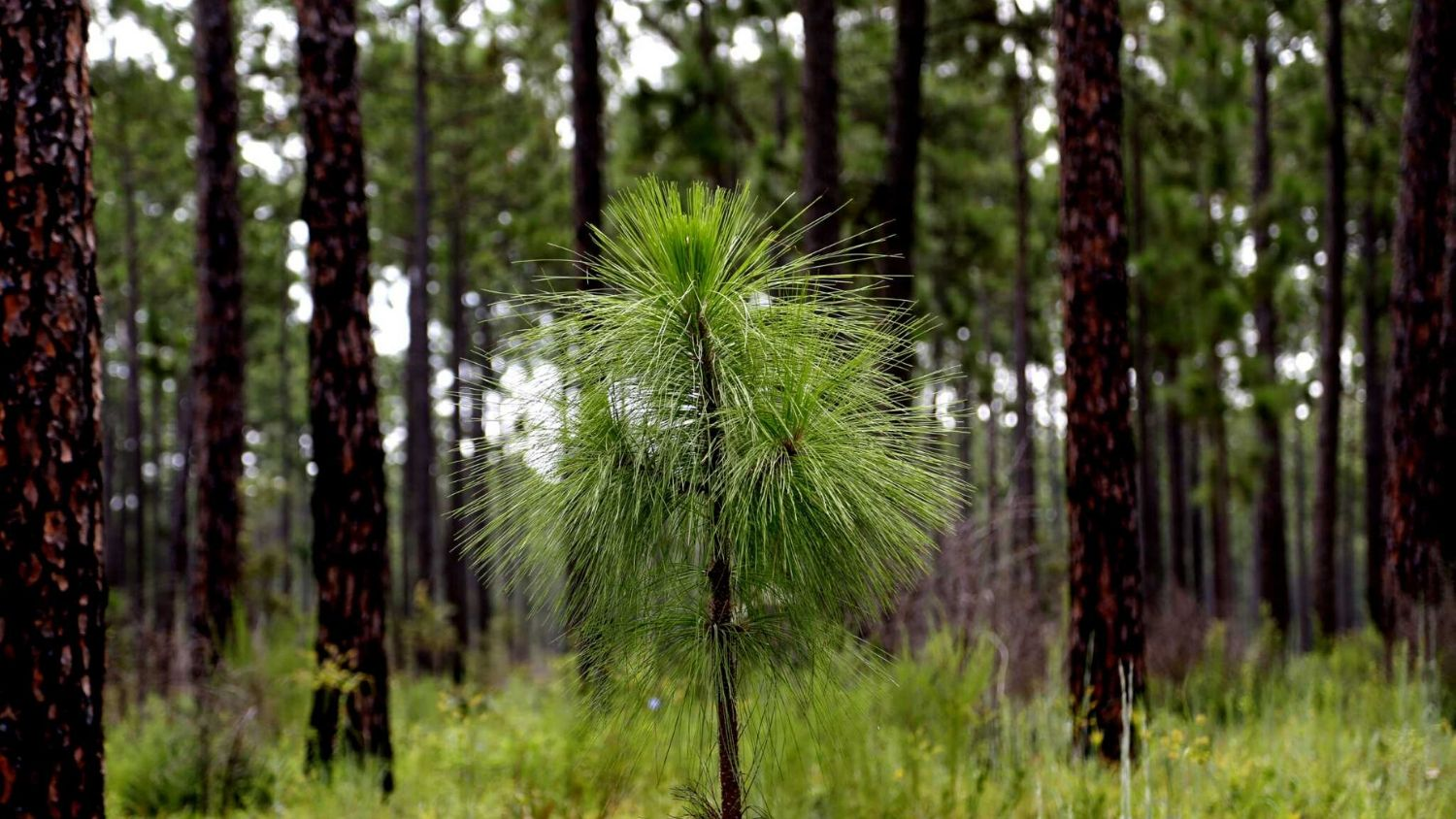 Which NC tree are you?, College of Natural Resources, Longleaf pine, courtesy Gary Coronado of Houston Chronicle