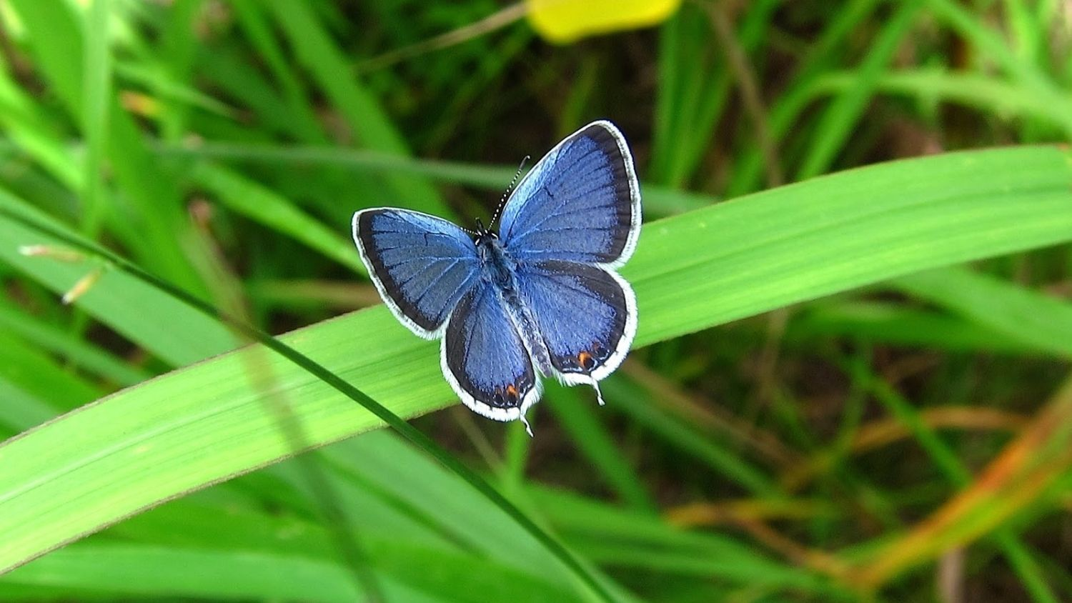 Which North Carolina butterfly are you?, College of Natural Resources, Eastern Tailed Blue Butterfly, courtesy saratogawoodswatersdotblogspotdotcom