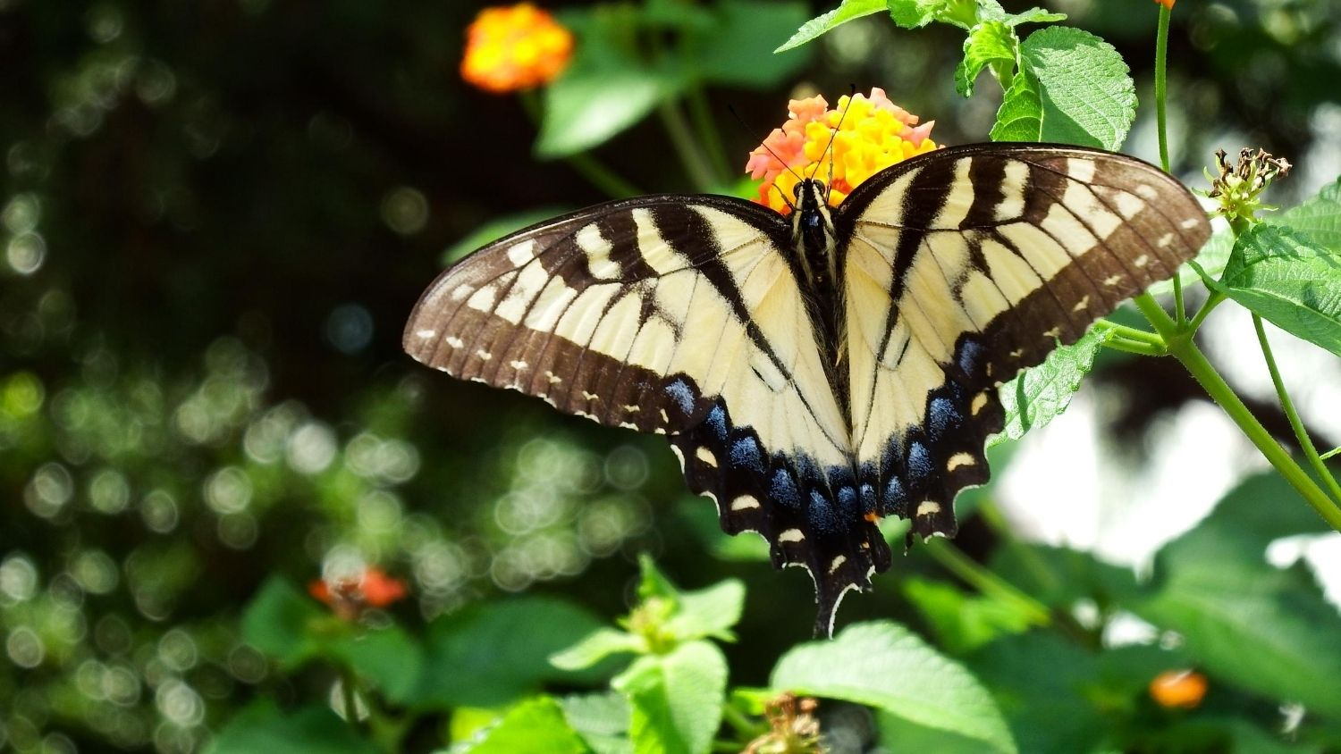Which North Carolina butterfly are you?, College of Natural Resources, Eastern Tiger Swallowtail butterfly, courtesy Lauren McLaughlin
