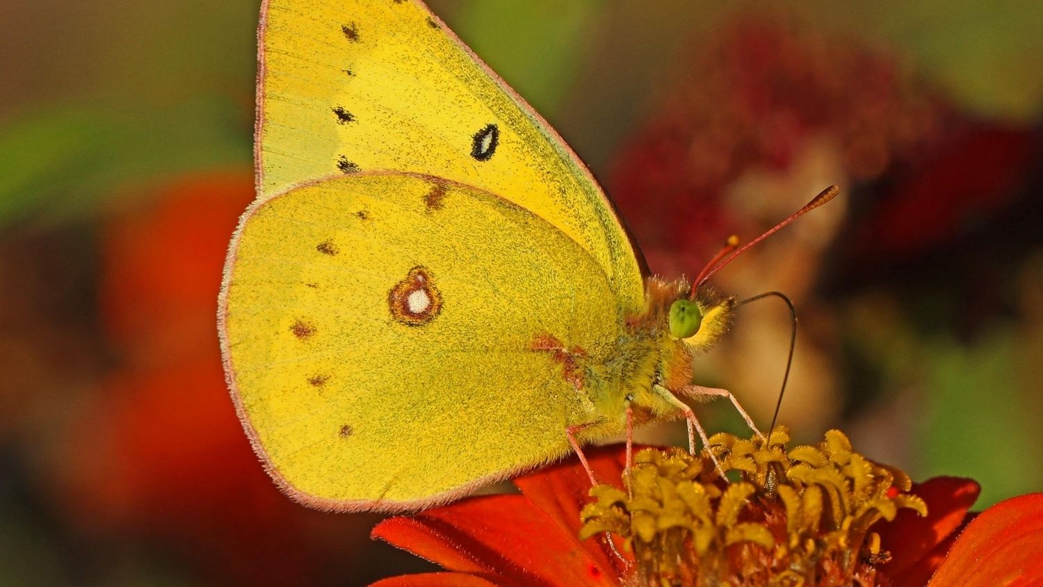 Which North Carolina butterfly are you?, College of Natural Resources, Orange Sulphur butterfly, courtesy Wikimedia Commons