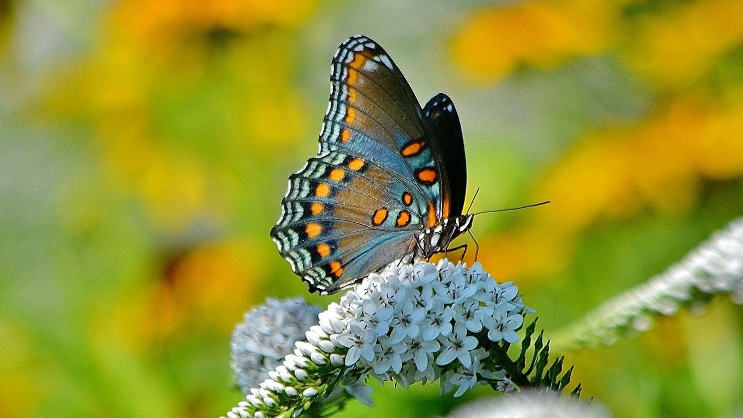 Which North Carolina butterfly are you?, College of Natural Resources, Red-Spotted Purple butterfly, courtesy birdsandbloomsdotcom, feature
