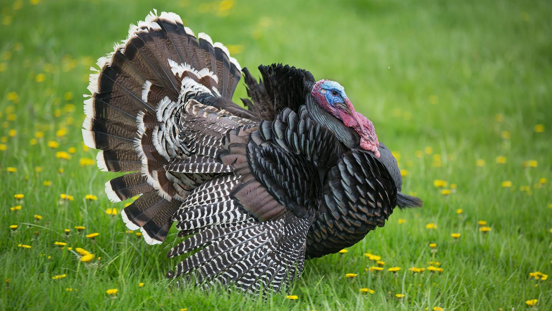 Wild turkey in field