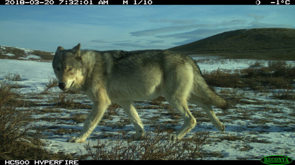 A gray wolf walking in the Theodore Roosevelt Memorial Ranch in Montana.