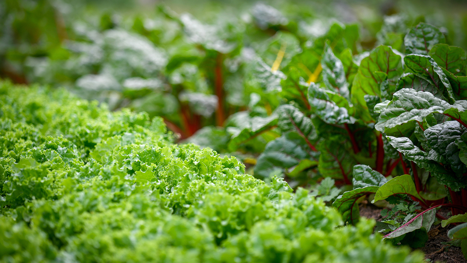 A field of leafy green vegetables - Building a Case for Community Gardens - College of Natural Resources News NC State University