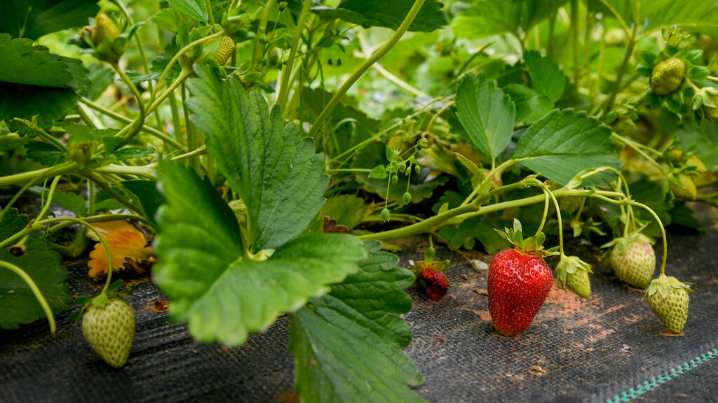 Strawberries growing on a bush at the Well Fed Community Garden.