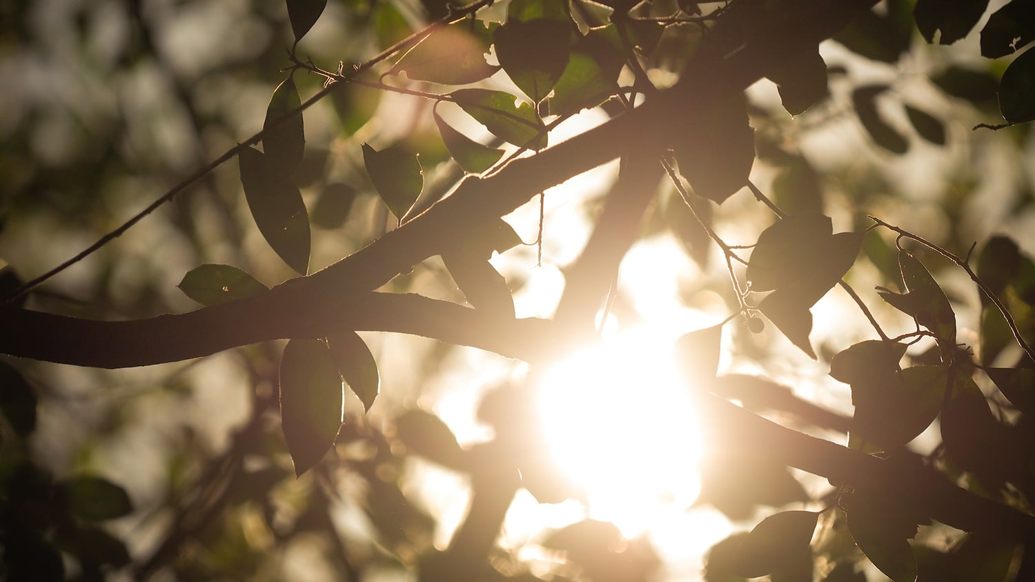The sun peeks through the leaves of a tree at the Court of North Carolina.