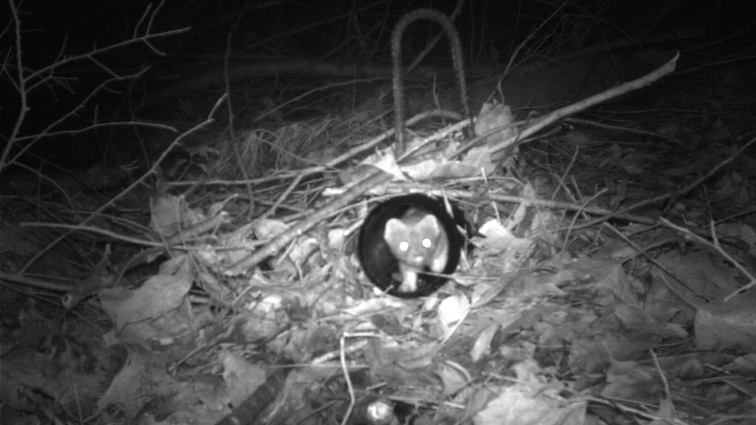 Long-tailed weasel - Study Tracks Decline of Weasels, the Smallest Carnivore, in North America - College of Natural Resources News NC State University