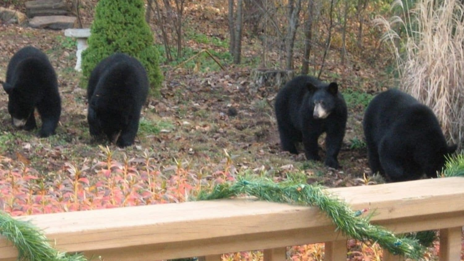Black bears in Asheville - Young Female Black Bears in Asheville, North Carolina, Are Big, Have Cubs Early - College of Natural Resources News NC State University