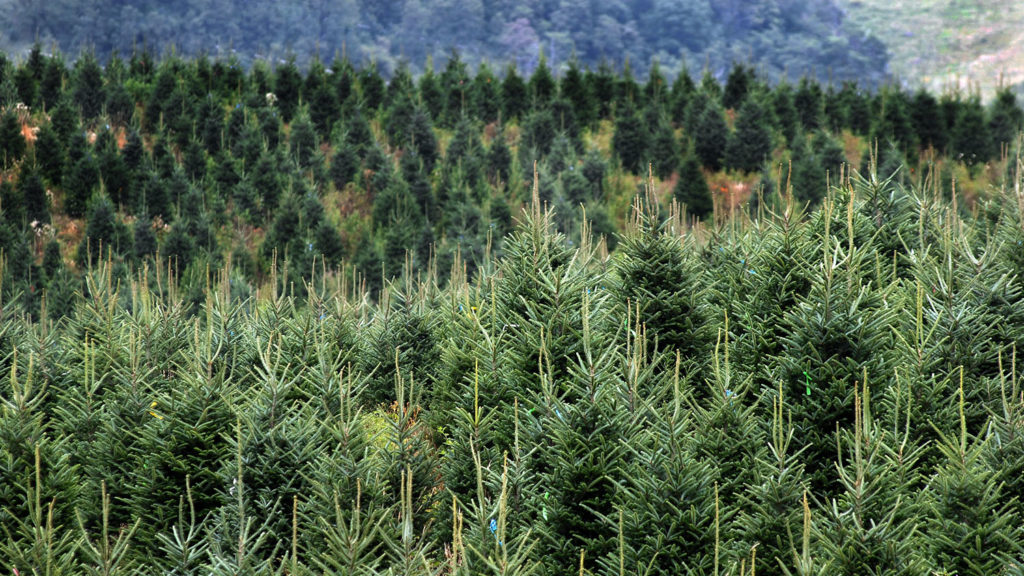 Christmas Trees - Centers and Cooperatives - College of Natural Resources at NCState University